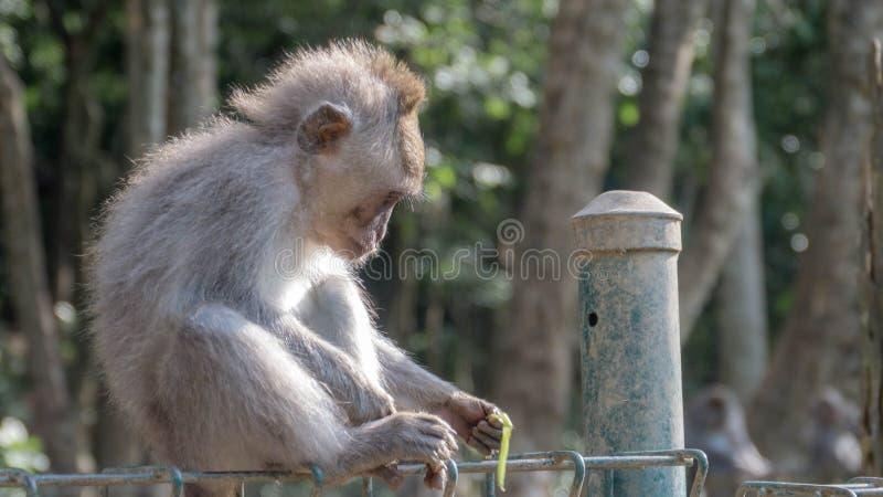 使用与脚的短尾猿猴子 图库摄影
