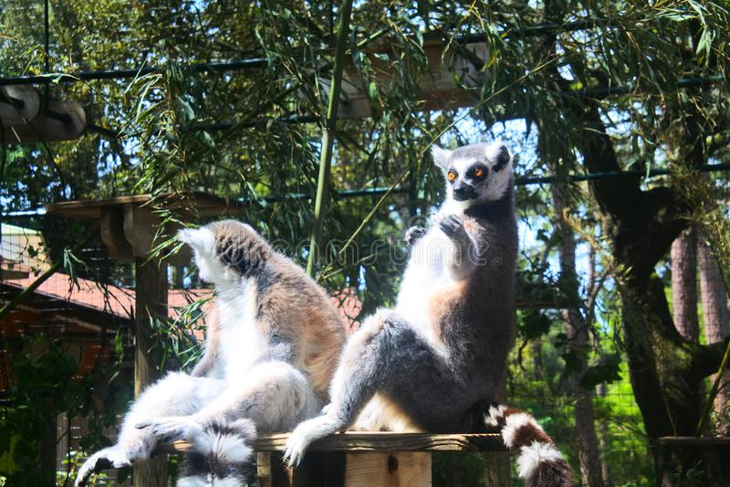 使用与访客的滑稽的狐猴在zoo de la palmyre在法国 免版税库存图片