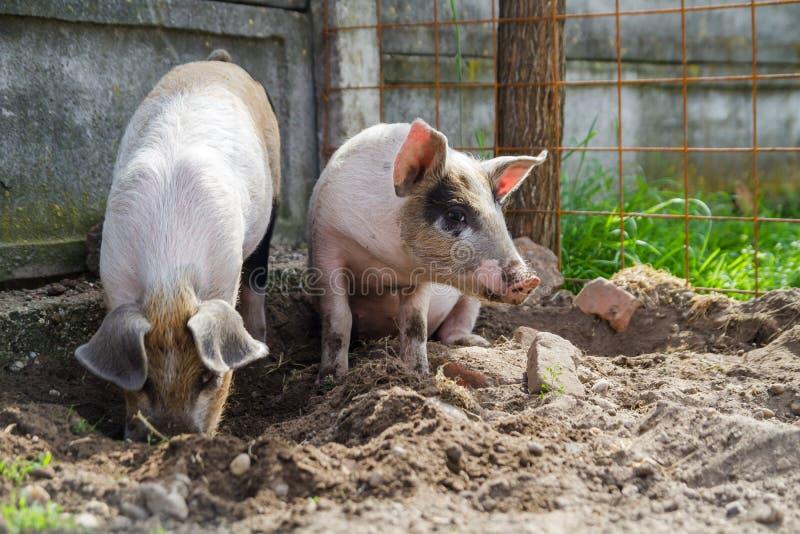 使用两个逗人喜爱的小猪外面 库存图片