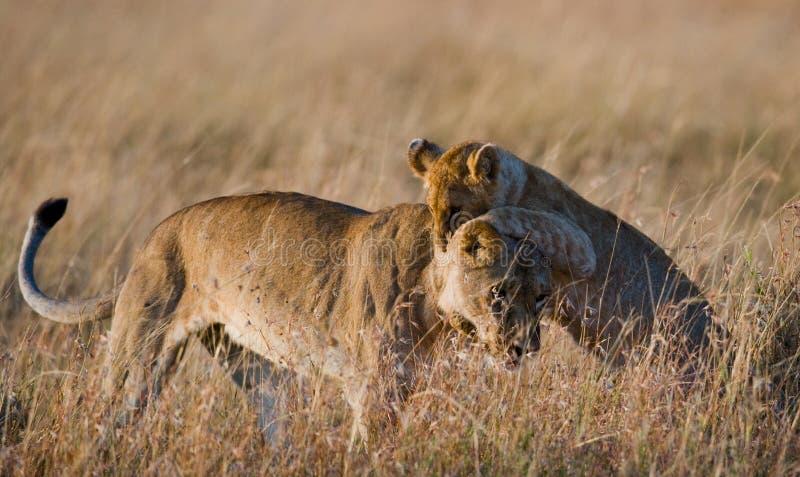 使用互相的雌狮和她的崽在大草原 国家公园 肯尼亚 坦桑尼亚 mara马塞语 serengeti 库存图片