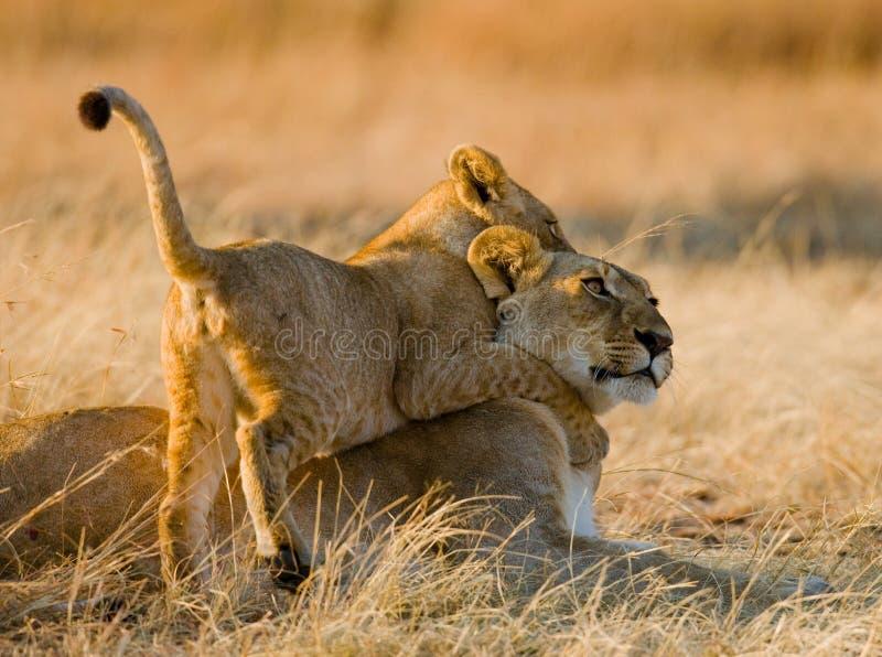 使用互相的雌狮和她的崽在大草原 国家公园 肯尼亚 坦桑尼亚 mara马塞语 serengeti 免版税图库摄影