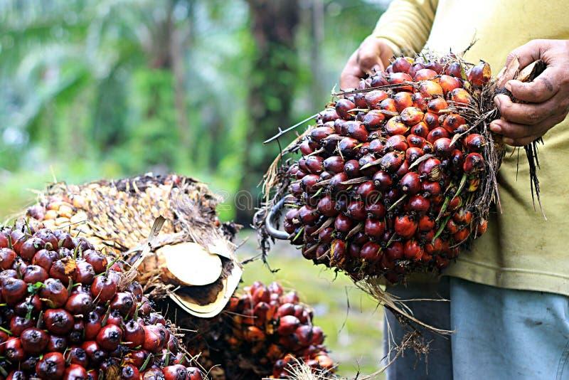 使用勾子,一个人mobalize油棕榈树果子 免版税库存照片