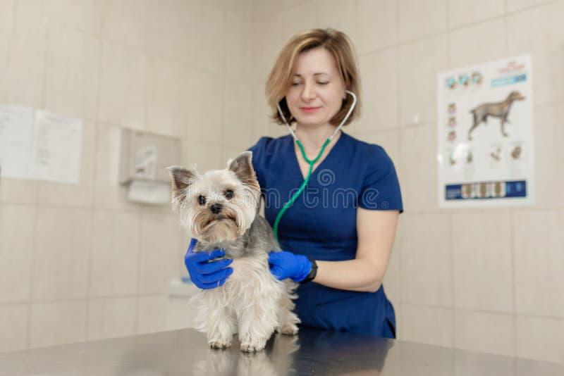 使用听诊器的年轻微笑的专业兽医妇女检查狗品种约克夏狗 库存图片