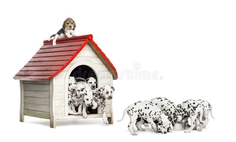 使用和吃在狗窝附近的大小组达尔马希亚小狗 库存照片