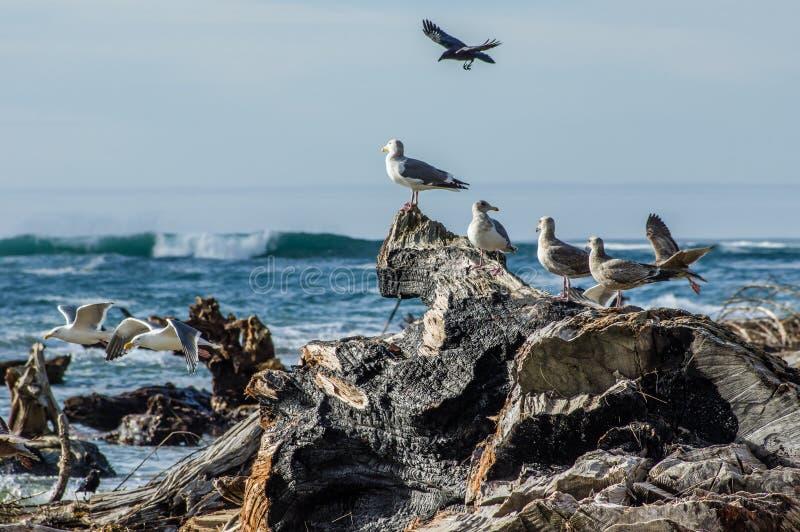 使用和哺养在漂流木头中的海鸥 库存图片