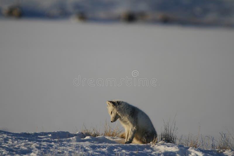 使用和寻找在小室附近的白狐在春天,剑桥湾,努纳武特 免版税图库摄影