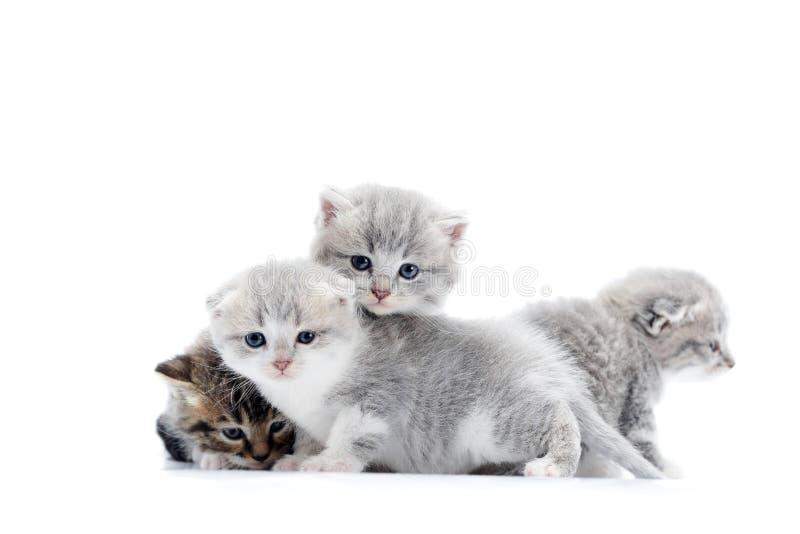 使用和跳跃在互相,一的灰色蓝眼睛的矮小的蓬松小猫看对sid 免版税库存照片