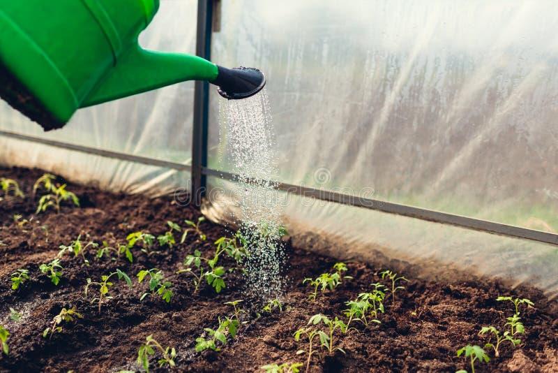 使用喷壶的农夫浇灌的蕃茄幼木自春天温室 ?? 免版税库存照片
