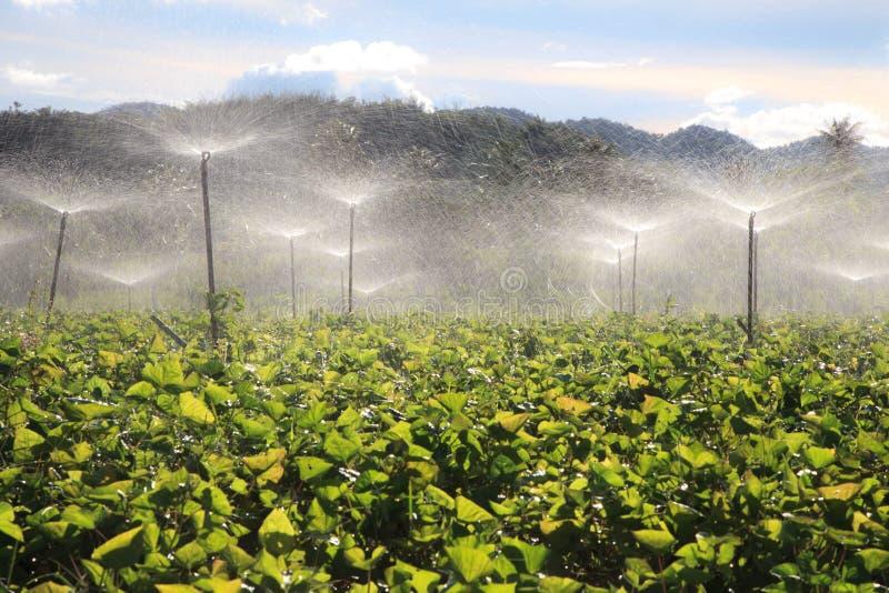 使用喷灌的土豆农场在夏天 免版税图库摄影