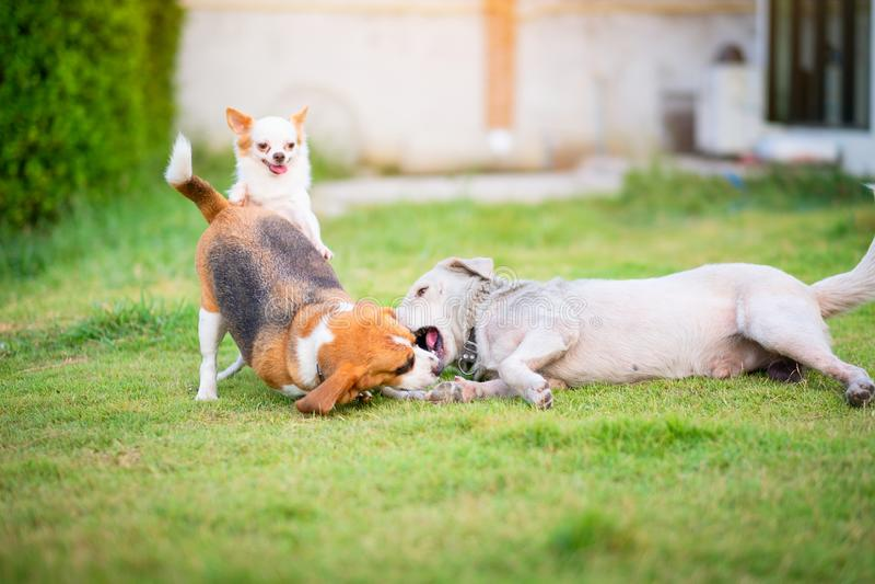 使用在一绿色象草的土地家庭菜园的三条狗 当它咬住另一条狗,它看起来象狗微笑着 小猎犬和 免版税库存图片