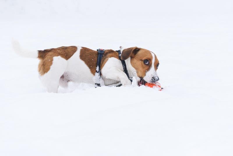 使用在他的玩具的雪恐惧的滑稽的狗 免版税图库摄影