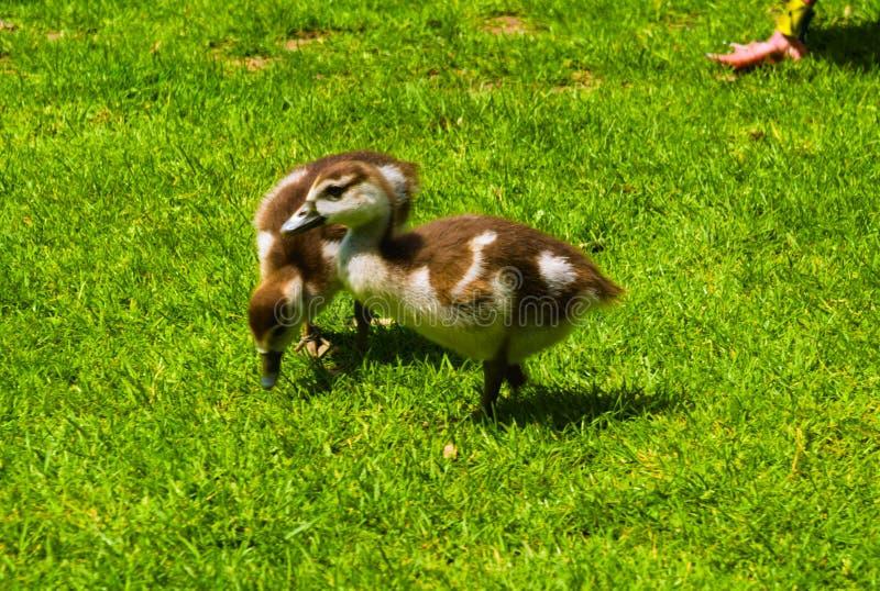 使用在公园的新生儿鸭子 库存图片