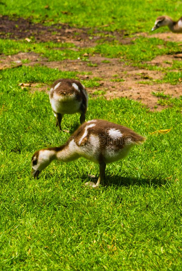 使用在公园的新生儿鸭子 免版税库存图片