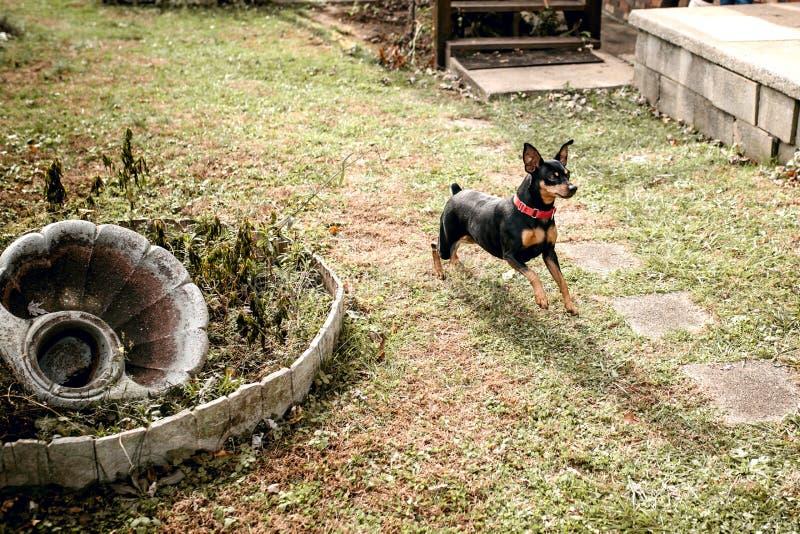 使用在后院的微型短毛猎犬 库存照片