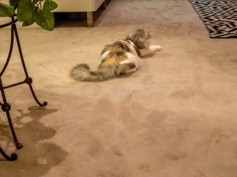 使用在地板上的一只逗人喜爱的五颜六色的猫的美丽的射击 库存图片