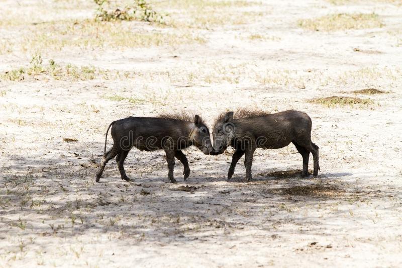 使用在塔兰吉雷国家公园,坦桑尼亚的共同的warthog婴孩 免版税库存照片