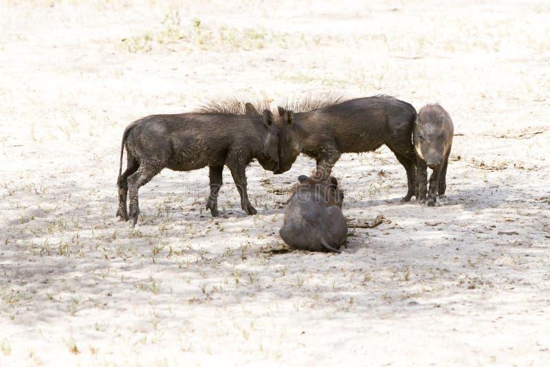 使用在塔兰吉雷国家公园,坦桑尼亚的共同的warthog婴孩 库存照片
