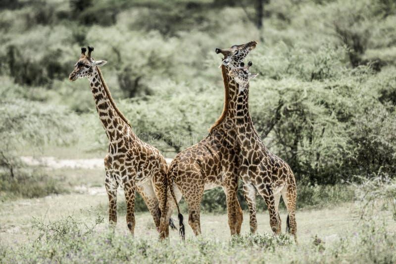 使用在塞伦盖蒂国家公园的长颈鹿 免版税库存照片