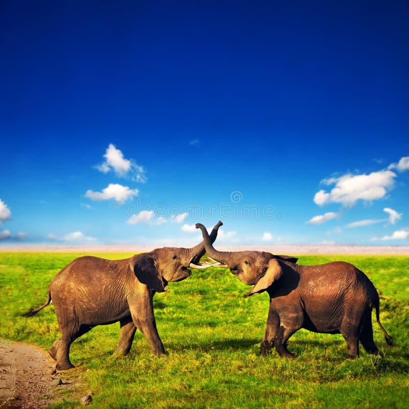使用在大草原的大象。 徒步旅行队在Amboseli,肯尼亚,非洲 免版税库存图片