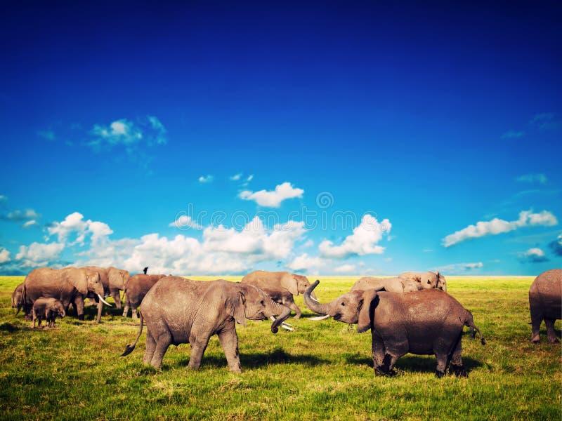 使用在大草原的大象。 徒步旅行队在Amboseli,肯尼亚,非洲 库存图片