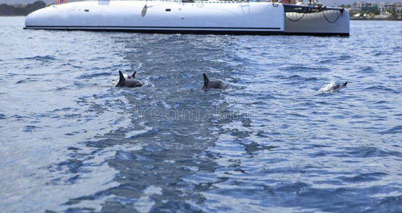 使用在小船附近的海豚小组 免版税库存照片
