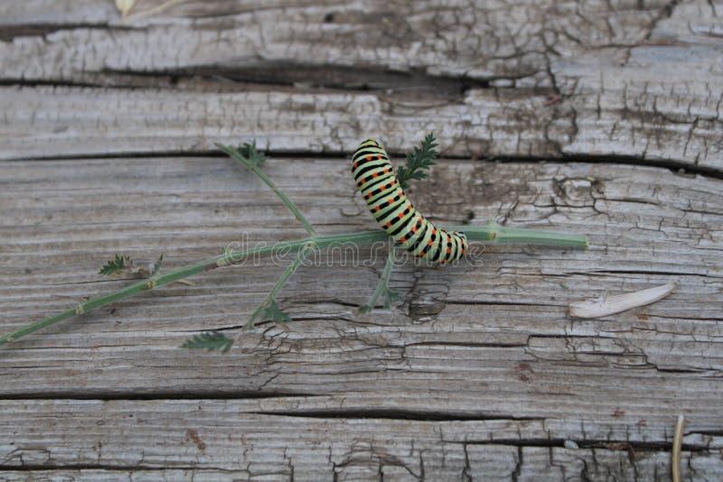 使用在板条和植物的毛虫 图库摄影