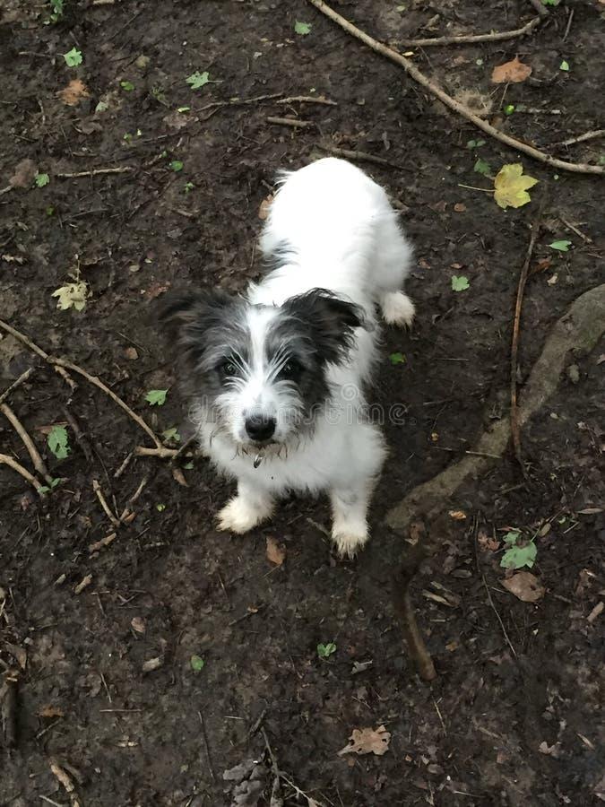 使用在森林的杰克罗素小狗 免版税库存图片
