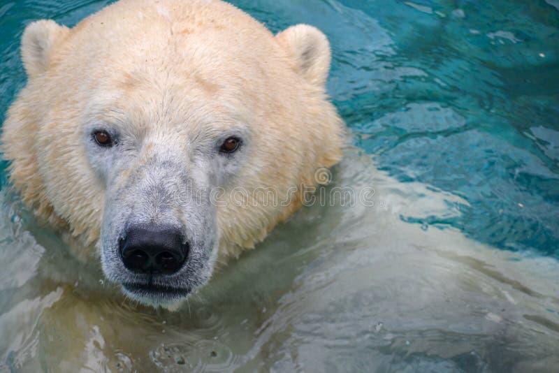 使用在水中的北极熊 图库摄影