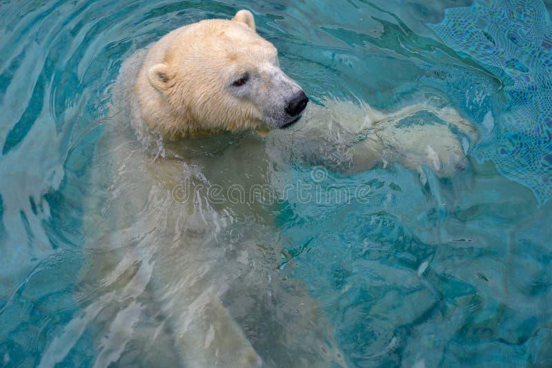 使用在水中的北极熊 免版税库存照片