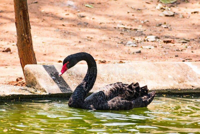 使用在水的黑天鹅在动物园 图库摄影