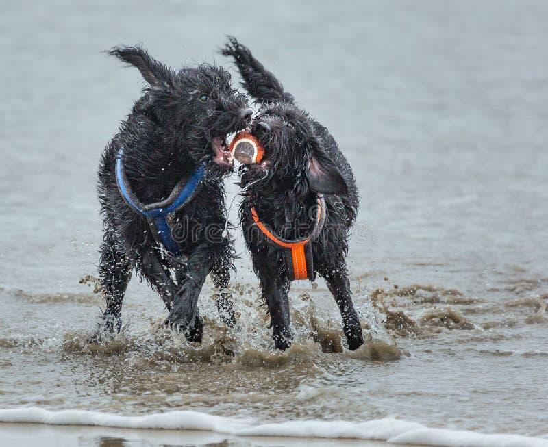 使用在海滩的海浪的两条狗 免版税库存照片