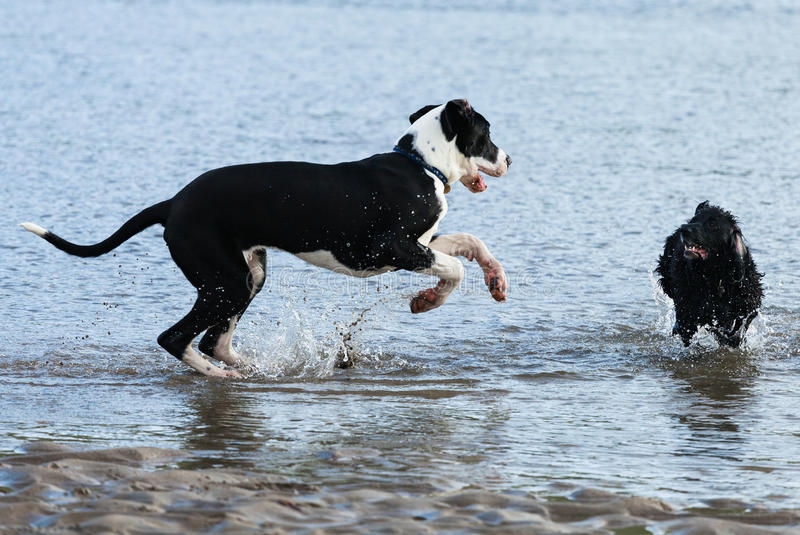 使用在海的狗 免版税库存图片
