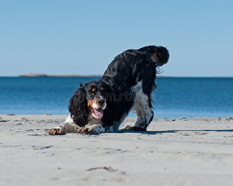 使用在海滩的猎犬 库存照片