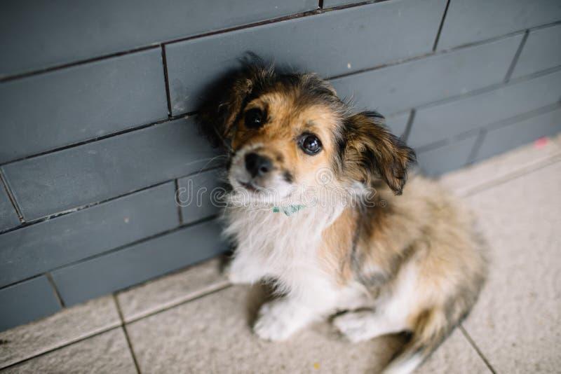 使用在混凝土路的滑稽的哈巴狗狗 库存照片
