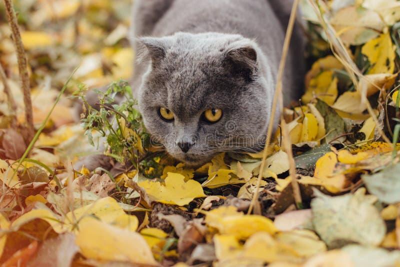 使用在秋天叶子的苏格兰猫 免版税库存照片