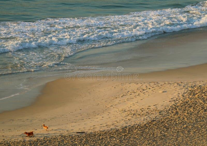 使用在科帕卡瓦纳海滩的两条狗鸟瞰图在早晨阳光,里约热内卢,巴西下 库存照片