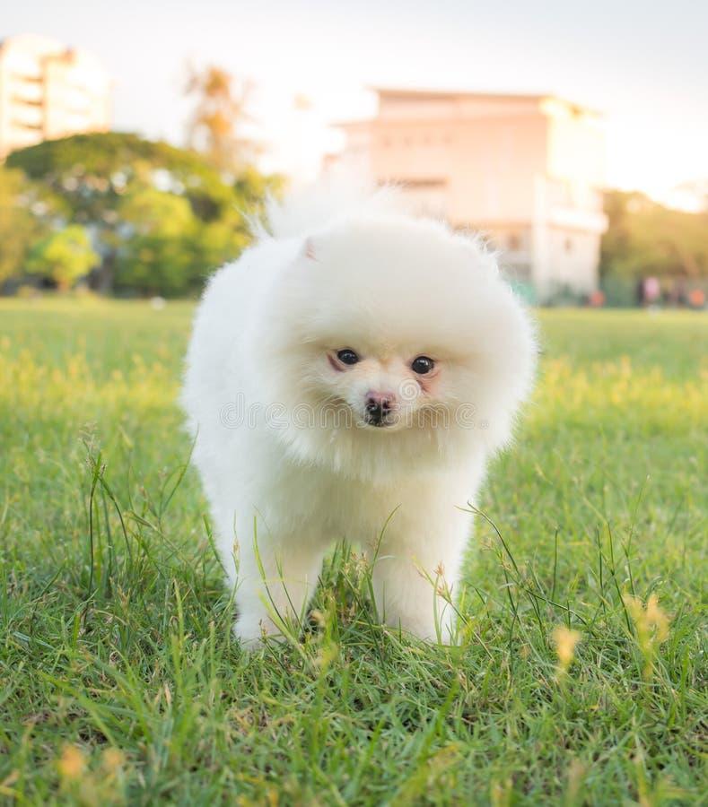 使用在草坪的逗人喜爱的白色Pomeranian (Pom) 免版税库存图片