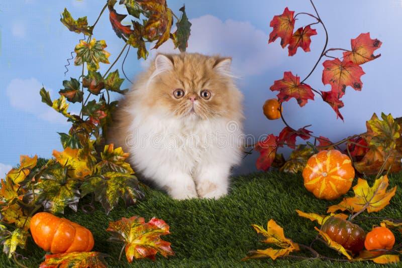 使用在草的红色波斯小猫 免版税库存图片