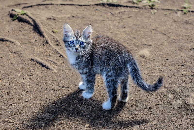使用在草的蓬松小猫 小的小猫是一个非常活跃,滑稽的动物 库存照片