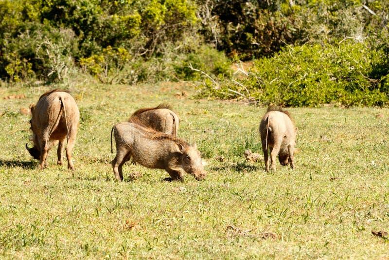 使用在草的Warthogs 免版税库存图片