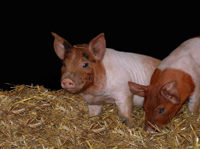 使用在谷仓的年轻小猪 库存图片