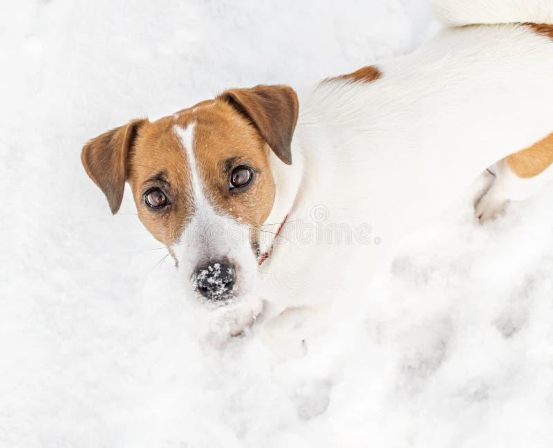 使用在雪和调查照相机的一条小狗杰克罗素狗 一张逗人喜爱的小狗画象在冷的冷淡的天气的冬天 W 库存图片
