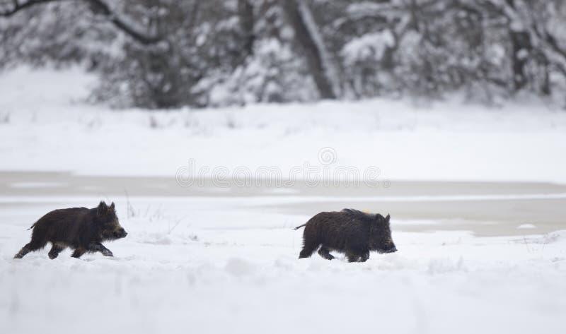 使用在雪的两个野公猪小猪 免版税库存图片