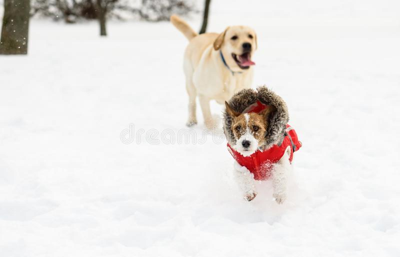 使用在雪的两条愉快的狗在冬天皮带公园 免版税库存照片