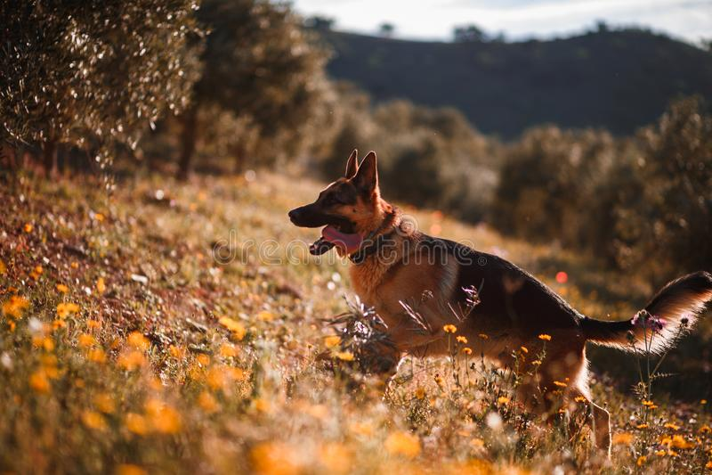 使用在黄色花和橄榄树的领域的德国牧羊犬 免版税库存图片