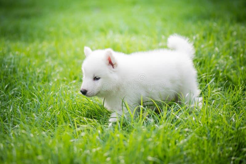 使用在绿草的西伯利亚爱斯基摩人小狗 库存图片