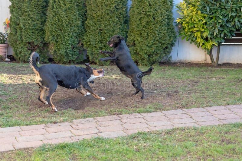 使用或战斗在庭院里的狗Appenzeller和小狗 库存照片