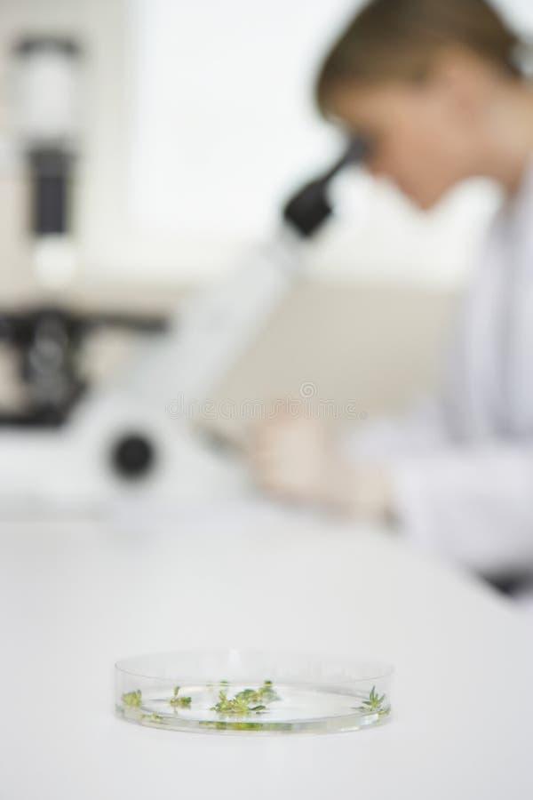 使用有焦点的科学家显微镜在培养皿在实验室 库存照片