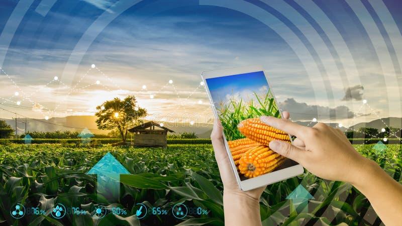 使用检查年轻甜玉米领域在农业庭院和光里的手机的手发光日落 免版税库存图片