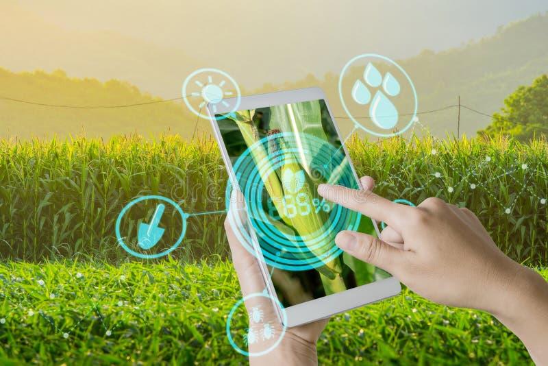 使用检查年轻甜玉米领域在农业庭院和光里的手机的手发光日落 免版税库存照片
